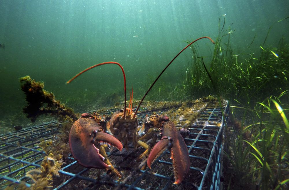 Lobster Bait Shortage Means Change For Lobsters' Diet